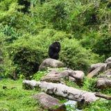 Chimpanzé摆在 库存照片