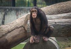 Chimpanzé à un zoo dans Kolkata Photos stock