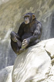 Chimpanzé 10 Photos stock