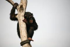 Chimpanzé imagem de stock royalty free