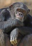Chimpanzé photos libres de droits