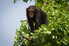 Chimpanzé Imagem de Stock