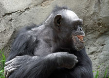 Chimpanzé Fotos de Stock