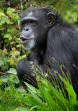 Chimpanzé Photo stock