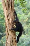 Chimpanzé Photographie stock