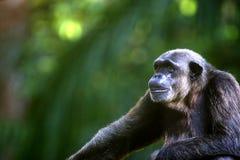 Chimpanzé Foto de Stock