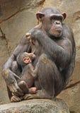 chimpanzé Images libres de droits
