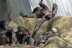 chimpanzé Image libre de droits