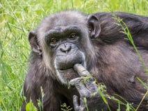 chimpanzé Foto de Stock Royalty Free