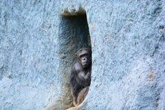 chimpanzé photo stock