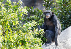 Chimpanzé adulto, Houston Zoo, Texas Imagem de Stock Royalty Free