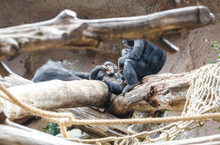 Chimpanzé au zoo Images libres de droits