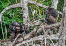 Chimpanzé avec un animal sur des branchements de palétuvier Photo stock