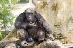 Chimpanzé, Bangkok, Thaïlande Photos libres de droits
