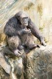 Chimpanzé, Banguecoque, Tailândia Fotos de Stock Royalty Free