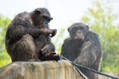 Chimpanzé, Banguecoque, Tailândia Fotografia de Stock