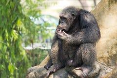 Chimpanzé, Banguecoque, Tailândia Imagens de Stock