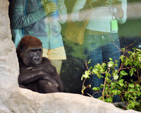 Chimpanzé boudant image libre de droits