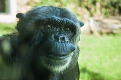 Chimpanzé chez Bioparco Photo stock