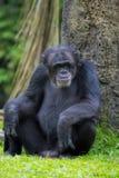 Chimpanzé commun Photographie stock libre de droits