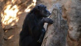 Chimpanzé commun dans un arbre banque de vidéos
