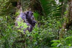 Chimpanzé commun - portrait scientifique de schweinfurtii de troglodytes de casserole de nom chez Kibale Forest National Park, mo photo stock