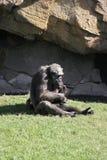 Chimpanzé commun - troglodytes de casserole Photographie stock