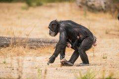Chimpanzé comum com um chimpanzé do bebê foto de stock