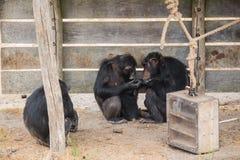 Chimpanzé comum com um chimpanzé do bebê e velho fotos de stock