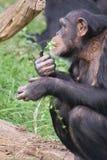Chimpanzé comum - trogloditas da bandeja Fotos de Stock Royalty Free