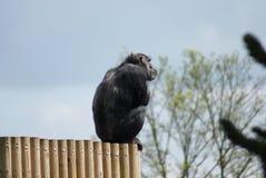 Chimpanzé comum - trogloditas da bandeja - observação Imagem de Stock Royalty Free