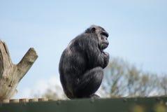 Chimpanzé comum - trogloditas da bandeja - observação Imagem de Stock