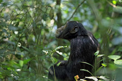 Chimpanzé dans Bush Images libres de droits