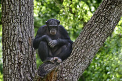 Chimpanzé dans l'arbre Photo libre de droits