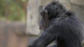 Chimpanzé dans le zoo clips vidéos