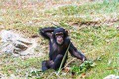 Chimpanzé de bébé Image libre de droits