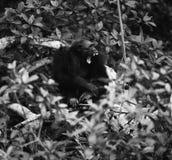 Chimpanzé de baîllement Photographie stock