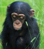 Chimpanzé de chéri Image libre de droits