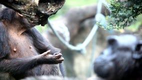 Chimpanzé de faune dans la forêt clips vidéos