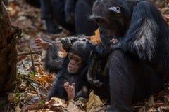 Chimpanzé de mère et de nourrisson dans l'habitat naturel Image libre de droits