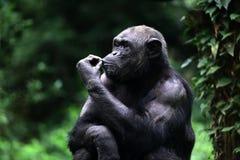 Chimpanzé do jardim zoológico imagens de stock royalty free