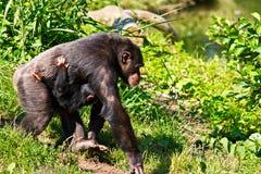 Chimpanzé femelle marchant avec la chéri Photo libre de droits