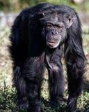 Chimpanzé marchant sur tout le Fours Image stock