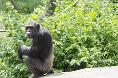 Chimpanzé masculin Photos stock