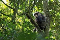 Chimpanzé na árvore Fotografia de Stock Royalty Free