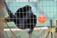 Chimpanzé na gaiola Fotografia de Stock Royalty Free