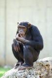 Chimpanzé noir Photographie stock