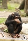 Chimpanzé novo imagens de stock