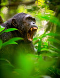 Chimpanzé ou chimpanzé selvagem gritando Fotografia de Stock Royalty Free