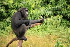 Chimpanzé - Ouganda photo stock